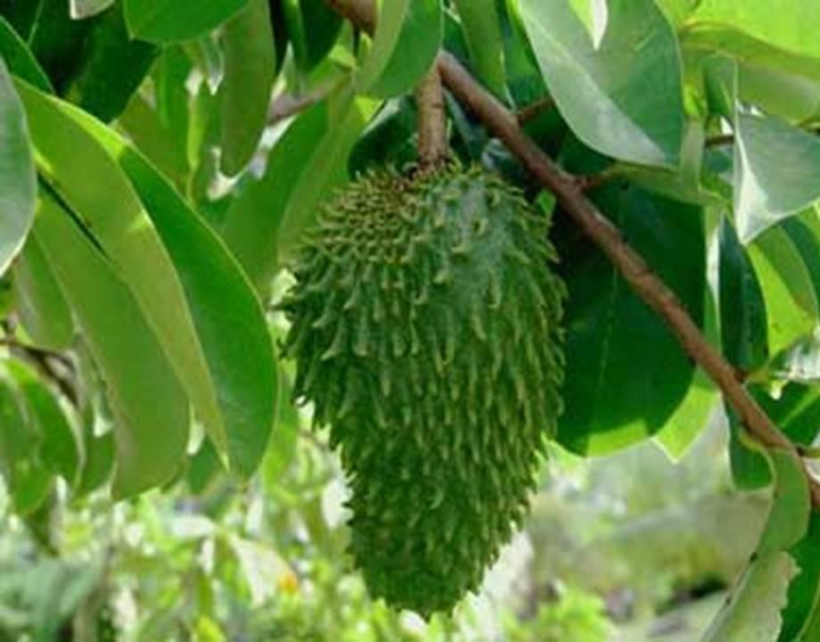 elimine-las-celulas-cancerosas-con-hojas-de-guanabana-1000-veces-mas-potente-que-la-quimioterapia